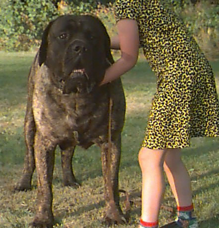 mastiff old english mastiff
