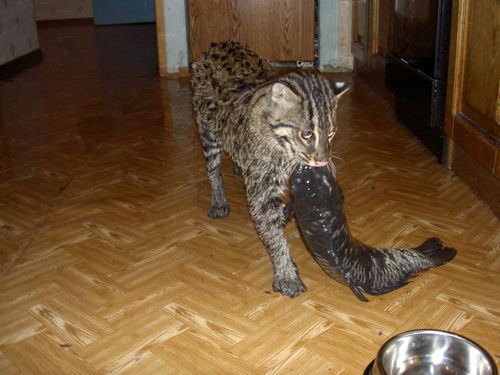 Fishing Cat: In Russia, cats eat you! And huge fish in the ...